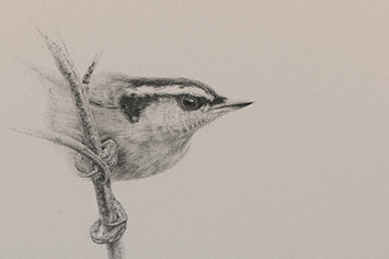 Drawing birds | David Kitler, ArtistsNetwork.com