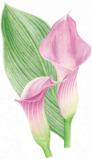 Burnishing with Colored Pencil Gary Greene demonstration image