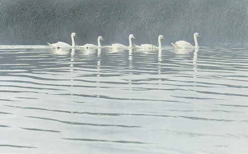 Flotilla (Polish Mutes) (watercolor, 19x30½) by Chris Bacon