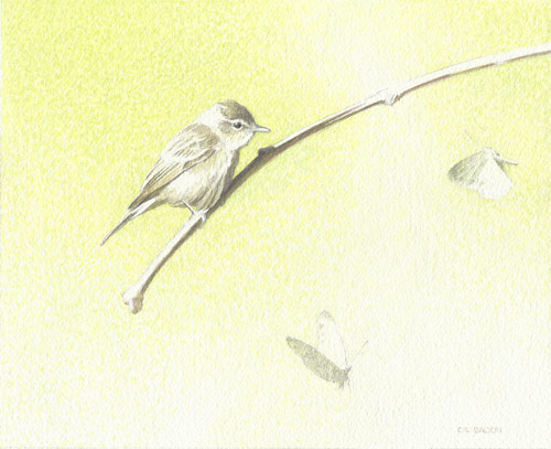 Study for Warbling Vireo and Cabbage Whites (watercolor, 8½x10½) by Chris Bacon