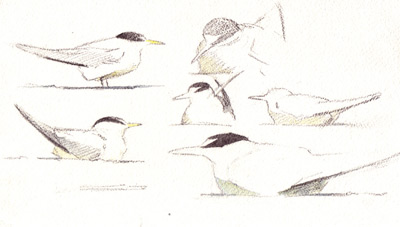 composition sketch, bird sketch, graphite, Chris Bacon art