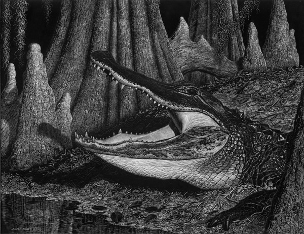 wildlife art, scratchboard, alligator art