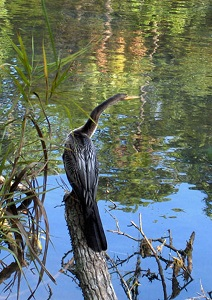 anhinga reference photo_Mary Ann Pals