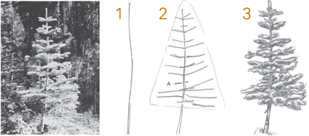 drawing conifers step by step