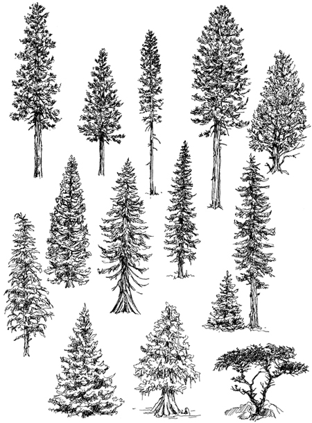 conifer drawings by claudia nice