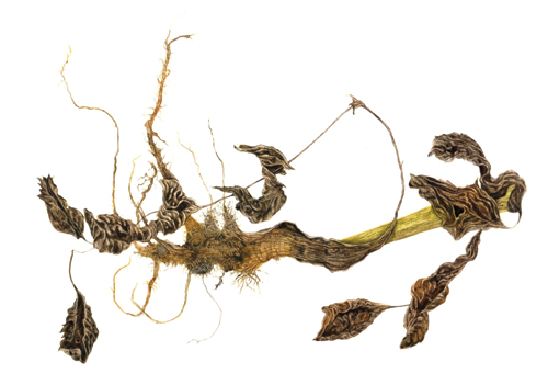 Wild Parsnip Root Pastinaca Sativa (watercolor on paper, 7½x9½) by Lynne Railsback   watercolor flowers