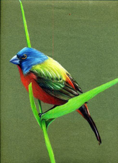 Painted Bunting colored pencil painting by David Dooley