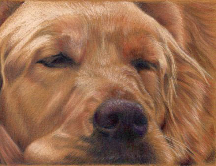 Golden Retriever, colored pencil painting by Sandra Angelo