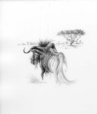 Gnu by Mark Leithauser, graphite drawing
