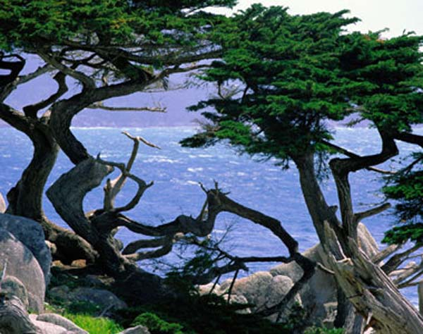 Cypress Seen Most Often In The United States On Jagged Coastlines Of Northern California This Evergreen Conifer Is Known For Its Unique Silhouette And
