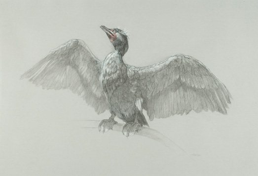 Patricia Traub's drawing of a cormorant.