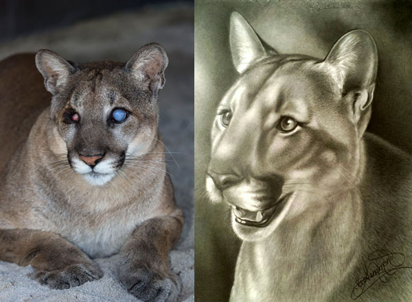 Florida panther drawings by Lee Hammond | ArtistsNetwork.com