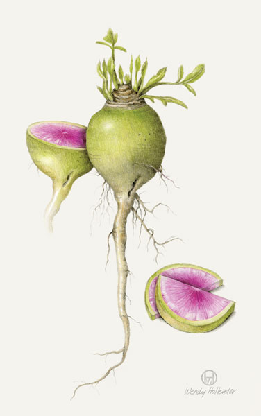 How to draw botanical art, Drawing by Wendy Hollender | ArtistsNetwork.com