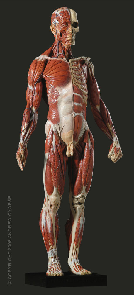 Anatomy figure for drawing