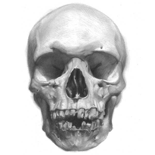 Understanding Anatomy: The Skull - Artists Network