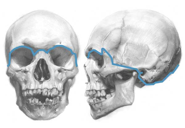 Understanding Anatomy The Skull Artists Network