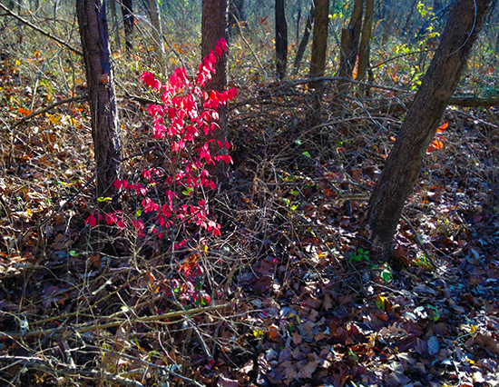 Photograph of Euonymus Alatus Monstrosa in the Forest  © J. Hulsey