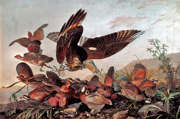 Hawk Pouncing on Partridges by John James Audubon, c.1827.