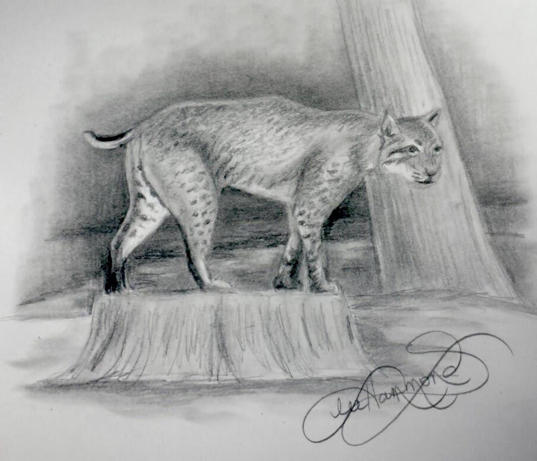 Drawing from Life - Bobcat - Lee Hammond - ArtistsNetwork - Final Sketch