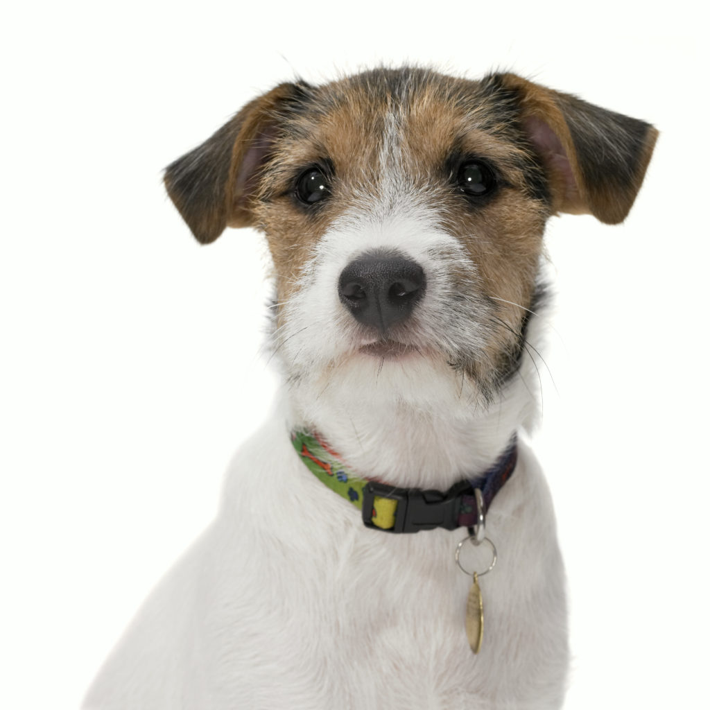 jack russell terrier_do you remember 1993 | artistsnetwork.com
