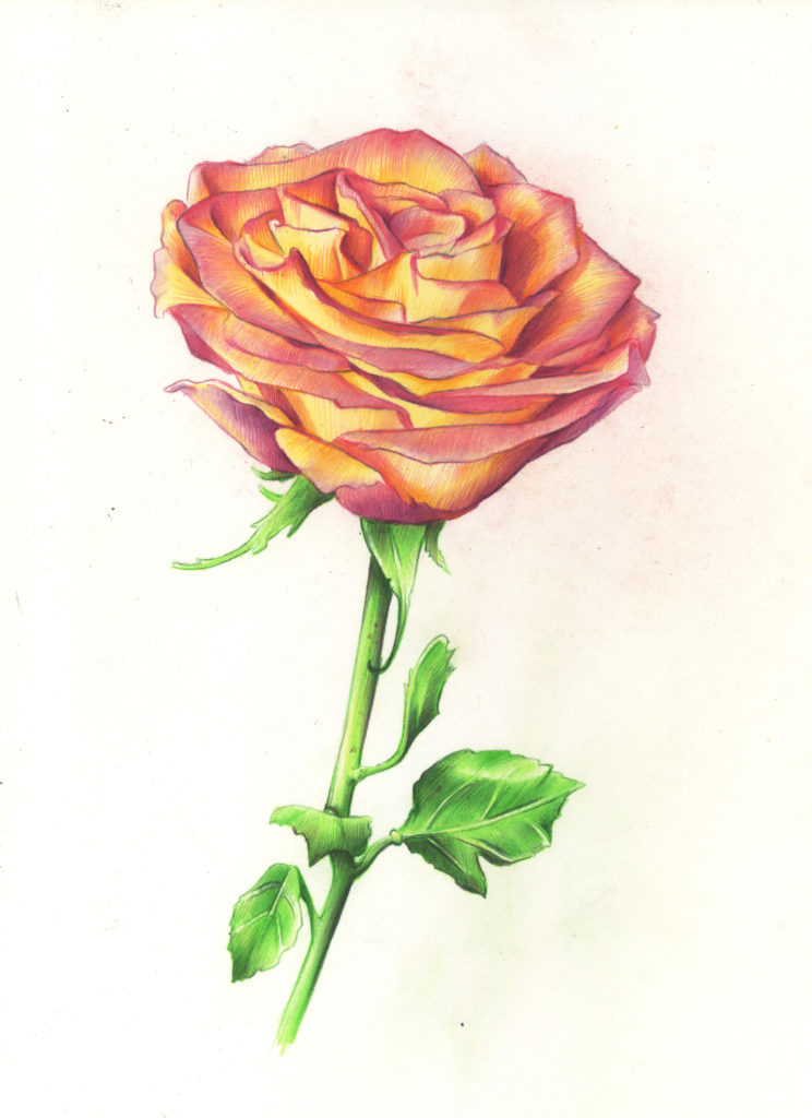 It is a picture of Crazy Rose Drawing Color