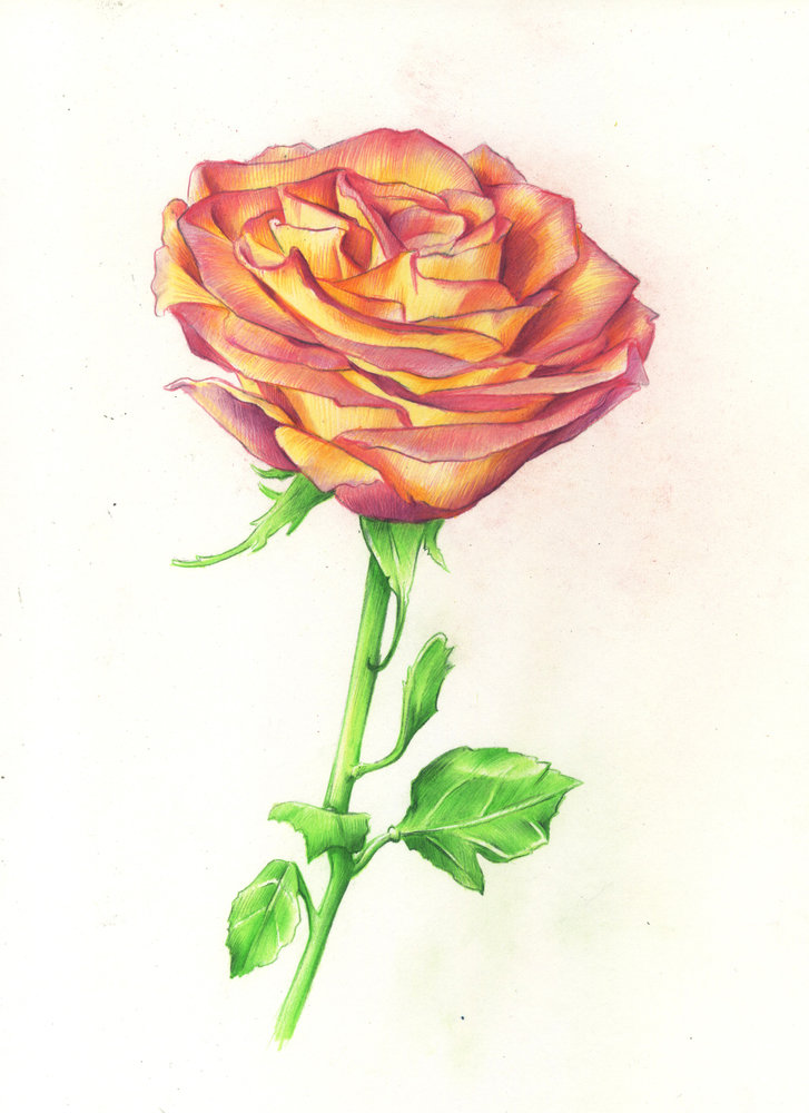 Drawing roses in graphite pencil and colored pencil two demonstrations