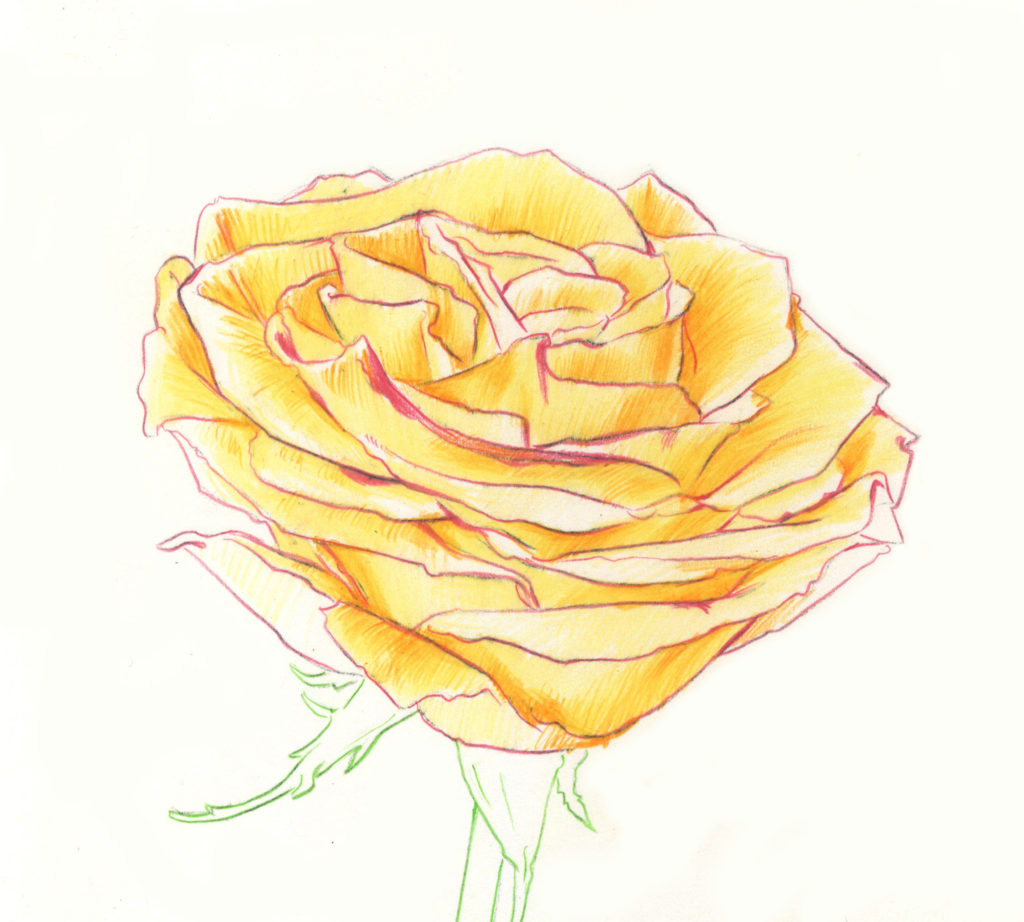 It is a picture of Invaluable Rose Drawing Color