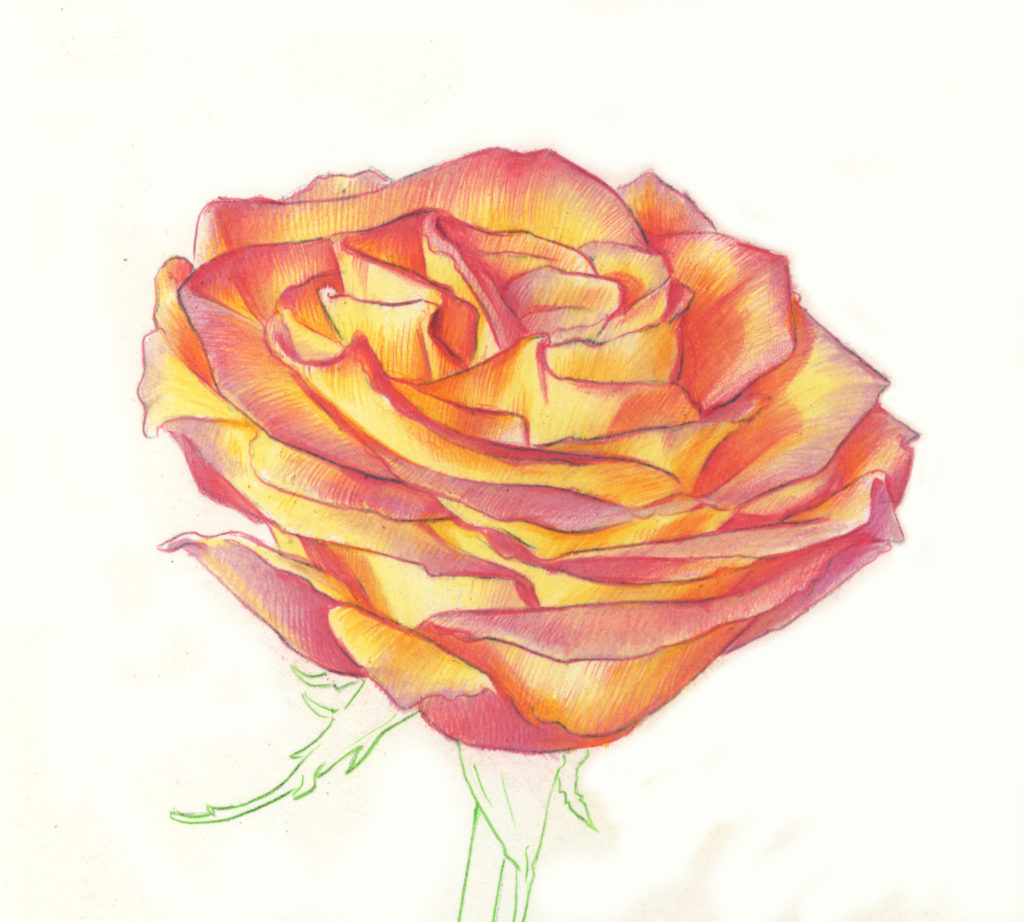 It is a graphic of Modest Rose Drawing Color