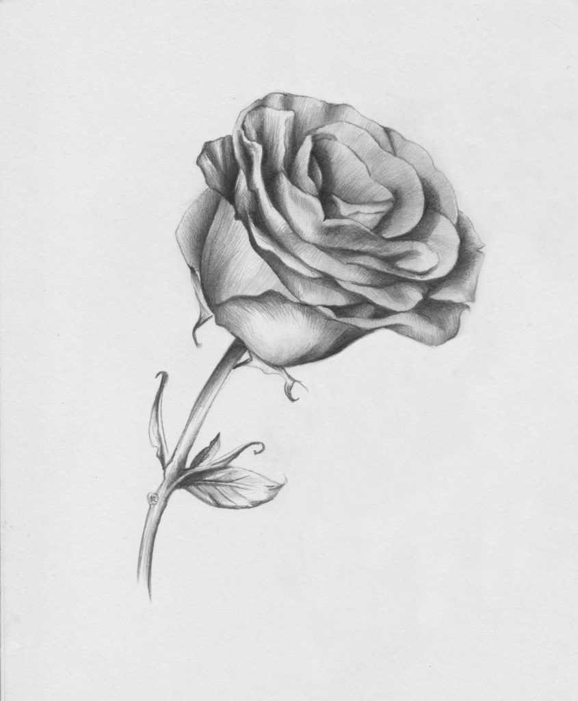 This is an image of Irresistible Rose And Stem Drawing