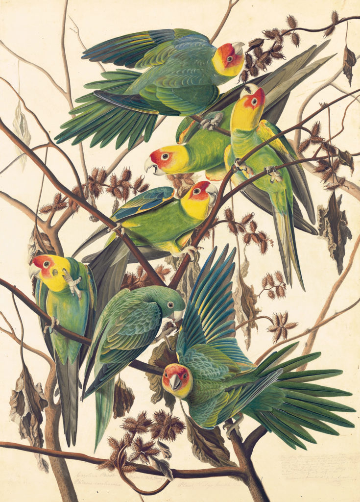 First Wonder of the Watercolor World: Carolina Parakeet (Conuropsis carolinensis), Study for Havell pl. 26 (ca. 1825; watercolor, graphite, pastel, gouache and black ink with scraping and selective glazing on paper, laid on card, 29¾ x 21¼)