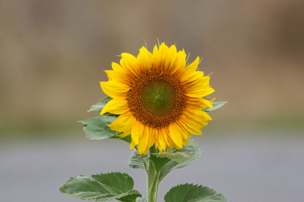 Close-up of wild sunflower; photo courtesy of Getty Images