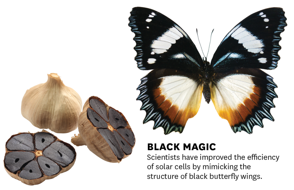 Black garlic and black butterfly wings Getty images